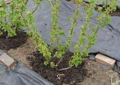 How to grow currants - great site with info on planting, pruning, cuttings, etc.