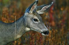 Mule Deer by Joe-Lynn-Design on DeviantArt Mule Deer, My Animal, Animal Photography, Deviantart, Gallery, Wall, Artist, Animals, Design
