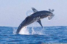 gran tiburón blanco salta fuera del agua