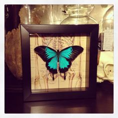 Papilio Ulysses Human Skeletal System shadow box on Etsy, $50.00