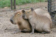 Anne ile yavru Kapibara