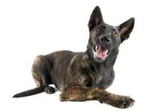 Dutch Shepherd A relatively rare and unknown breed, the Dutch Shepherd excels in agility training, herding, military and police work and as a companion animal. Intelligent, easy to train and hard working, Dutch Shepherds are known for being loyal to their handlers and family. Because military dogs spend so much time with their handlers, the bond between these breeds and their military personnel is truly special.