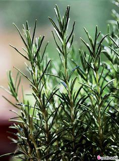 Rozmarýn je jedinečný Herb Garden, Home And Garden, Nordic Interior, Medicinal Herbs, Indoor Plants, Medicine, Funny Pictures, Health Fitness, Jar