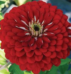 Flowered Scarlet Zinnia Giant Dahlia is an absolute must for the cutting garden. Similar color and habit of the Benary's Giant series but will produce single, semi-double, and double flowers. Garden Seeds, Garden Plants, Red Flowers, Beautiful Flowers, Lawn And Garden, Garden Tools, Zinnia Elegans, Annual Flowers, August Flowers