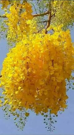 Clump of Mimosa flowers on beautiful tree. Beautiful Flowers Wallpapers, Beautiful Rose Flowers, Unusual Flowers, Amazing Flowers, Pretty Flowers, Yellow Flowers, Beautiful Gardens, Yellow Tree, Hydrangea Care