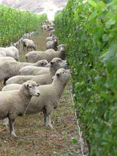 This Winery Employs Sheep to Help With Its Grape Harvest - schapen in de wijngaard - inVINity Sheep Farm, Sheep And Lamb, Farm Animals, Animals And Pets, Cute Animals, Alpacas, Lord Is My Shepherd, Counting Sheep, In Vino Veritas