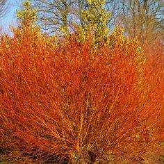 Salix alba britzensis (Scarlet Willow) can potentially make a tall tree, but it is more often coppiced as a multi-stemmed shrub for its vivid red stems. Scarlet, Salix Alba, Tree Stakes, Ornamental Plants, Willow Tree, Garden Inspiration, Garden Ideas, Winter Garden, Hedges