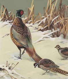 Roger Tory Peterson (1908-1996)  Pheasant and Quail  signed 'Roger/Tory/Peterson' (upper right)--bears artist's stamp (on the reverse) gouache, watercolor and pencil on board  22¼ x 19 in. (56.5 x 48.3 cm.), image; 27¾ x 22 in. (70.5 x 55.9 cm.)