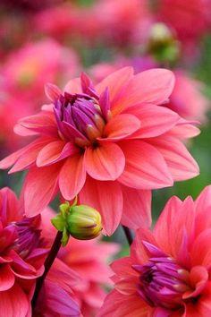 American Beautiful Dahlia