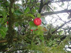 Acerola... Fruta... Natureza Linda!