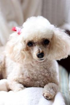 I would almost swear that was my poodle Tehya, God rest her precious soul.