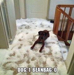 Dog Vs Beanbag - Lmao!!!! We had a dog do this!!! Hannah