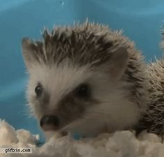 cutest hedgehog gif