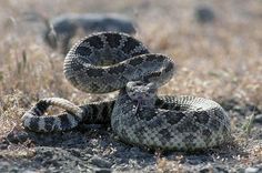 #Wordpress Be Rattlesnake Safe this Spring  With the coming of spring and warmer weather conditions, snakes of many species are through hunkering down, making human encounters with these elusive creatures more likely. Las Vegas WordPress Developer - http://www.larymdesign.com