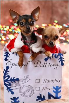 Everything about dogs Teacup Chihuahua, Chihuahua Puppies, Cute Dogs And Puppies, I Love Dogs, Chihuahuas, Doggies, Christmas Animals, Christmas Dog, Gato Animal