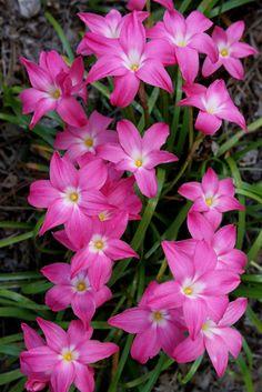 Zephyranthes 'Heart Throb'