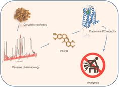 Corydalis - A Novel Analgesic Isolated from a Traditional Chinese Medicine