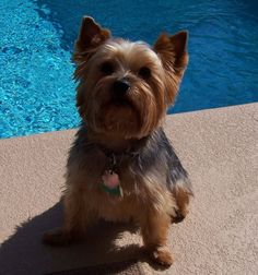 Yorkshire Terrier Pictures: Harley