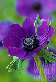 ANEMONE_CORONARIA_ANEMONE - Anemone is a beautiful perennial with the added feature of liking the shade!
