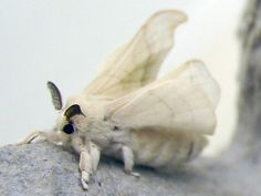 Commercial Silk Moth (bombyx mori) - The practice of breeding silkworms for the production of raw silk has been under way for at least years in China, from where it spread to India, Korea, Japan and the West. Beautiful Bugs, Beautiful Butterflies, Venezuelan Poodle Moth, Silkworm Moth, Cute Moth, Rosy Maple Moth, Moth Drawing, Mothman, Bugs And Insects