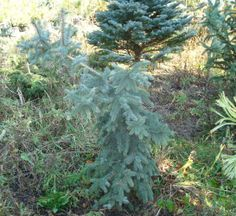 Rich's Foxwillow Pines Nursery, Inc. - Picea pungens – 'Dietz Prostrate' Colorado Spruce