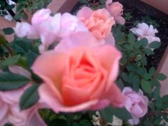 young, tiny pink roses, happy in their pot __©Peggy Carajopoulou-Vavali