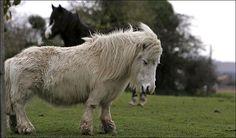 tabloid dwarf pony