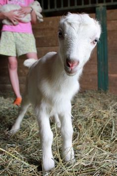 Northern LaMancha Goat - I love a goat with horns. | GOAT! (mostly ...