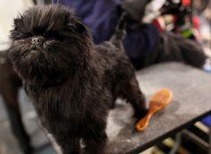 Banana Joe, an Affenpinscher and the cutest dog ever, wins Best In Show at Westminster!