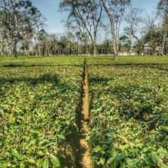Since Ghograjan Tea Estate has provided consumers the opportunity to buy quality, direct from estate Earl Grey Tea & Loose Leaf Black Assam Tea. We supply customers of every size with authentic, delicious black Assam tea from our farm to your cup. Tea Online, Masala Chai, Earl Grey Tea, Loose Leaf Tea, Opportunity, Vineyard, Plants, Outdoor, Black