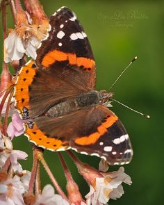 Red Admiral - Photograph at BetterPhoto.com