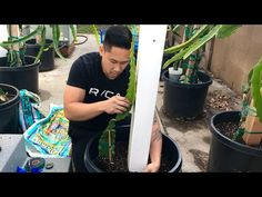 Step by step tutorial on how to plant your Dragon Fruit cuttings into its new pot and trellis! In this video I used 4 different varieties to plant into a 20 . Dragon Fruit Garden, Dragon Fruit Cactus, How To Grow Dragon Fruit, Red Dragon Fruit, Cheap Trellis, Diy Trellis, Cheap Raised Garden Beds, Building A Trellis, Gardening For Dummies