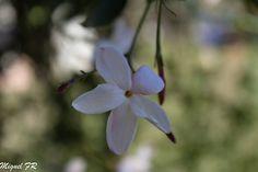 Flor de Jazmin by Miguel Fernandez Romero on 500px