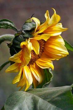 My favorite flower, sunflower🌻
