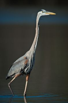 Great Blue Heron you found our Lauren Loved you before and more now than ever. Like lauren, graceful and lovely
