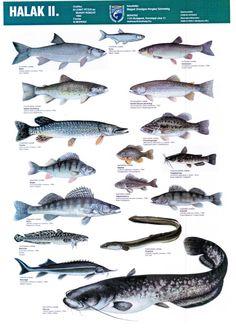 Fish Chart, Hungary, Mammals, Star Trek, Underwater, Stencil, Whale, Panda, Aquarium