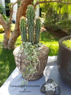 Cereus cactus and cascading silver Dichondra. Add some crystal bling while you…