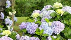Dear Dolores Hydrangea(Macrophylla) Live Deciduous Shrub, Pink or Blue Mophead - The Home Depot Hydrangea Macrophylla, Hydrangea Garden, Bloomstruck Hydrangea, Smooth Hydrangea, Pink And Purple Flowers, Butterfly Bush, Low Maintenance Plants, Evergreen Shrubs, Plants