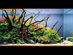 A beautiful scape from Thailand! A perfect blend of green and red flora that is very fitting for the approach of fall. As grown in as it is, the moss on the driftwood branches are going to grow in very nicely. Planted Aquarium, Betta Aquarium, Aquarium Aquascape, Aquarium Ideas, Aquascaping, Aquarium Landscape, Fresh Water Tank, Dragon Art, Fish Tank