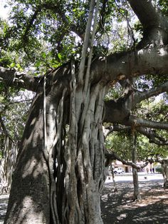 Banyan tree, grows anywhere it can