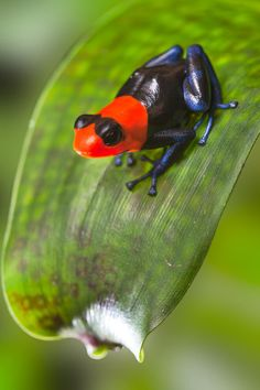 Adrian ~ poison dart frog (random animal groups for your children) Funny Frogs, Cute Frogs, Rainforest Animals, Amazon Rainforest, Reptiles And Amphibians, Mammals, Animals Beautiful, Cute Animals, Sapo Meme