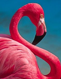 Flamingos are so beautiful! Flexible Flamingo Photograph by Michele Burgess - Pretty Birds, Beautiful Birds, Animals Beautiful, Flamingo Art, Pink Flamingos, Flamingo Shoes, Flamingo Tattoo, Exotic Birds, Colorful Birds