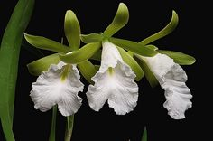 Encyclia mariae  7-08