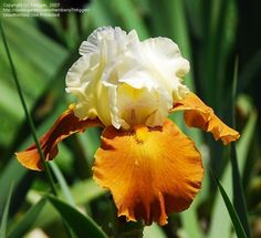 Full size picture of Tall Bearded Iris 'Fall Fiesta' (Iris)