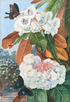 Rhododendron Falconeri, from the Mountains of North India. by Marianne North Framed Art Print Magnolia Box Size: Extra Large Vintage Botanical Prints, Botanical Drawings, Botanical Art, Botanical Gardens, Vintage Art, Plant Illustration, Botanical Illustration, Framed Art Prints, Painting Prints