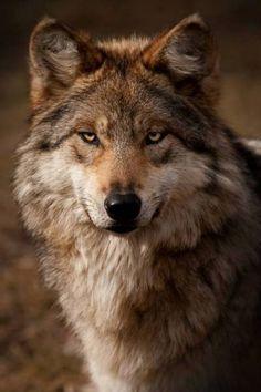 Alpha Will's wolf
