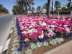 Maale Adumim, Israel - Public Landscaping, near entrance to the city, evening primroses (נר-הלילה), sweet alyssum