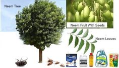 Neem oil aka Bioneem is a safe, eco-friendly non-toxic pesticide and fungicide for use by home gardeners. It is a non-chemical alternative acceptable in organic gardens, and for commercial applications.