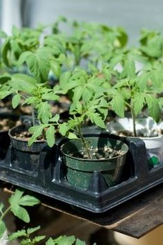 How to Grow Tomatoes from i