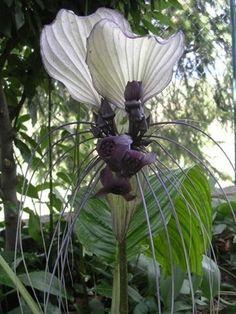 * White Bat Flower
